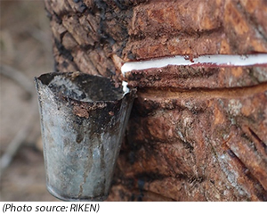 Scientists Decode Rubber Tree Genome
