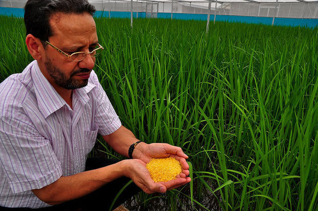 Scientist Parminder Virk of the International Rice Research Institute scientist holding sample of GMO Golden Rice