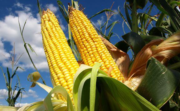 GMO-Crops2