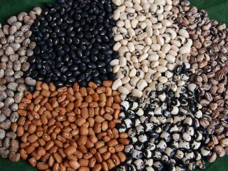 Nigeria's ''pod-bearer resistant cowpea'': the urgent need for commercialization